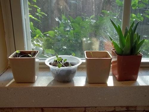 Del Montre fruit cups - reuse for plants window full 4
