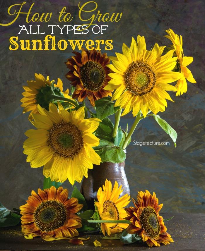 Gardening Tips: Choosing The Right Sunflower To Grow