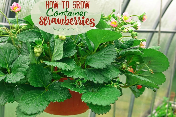 container garden strawberries edibles