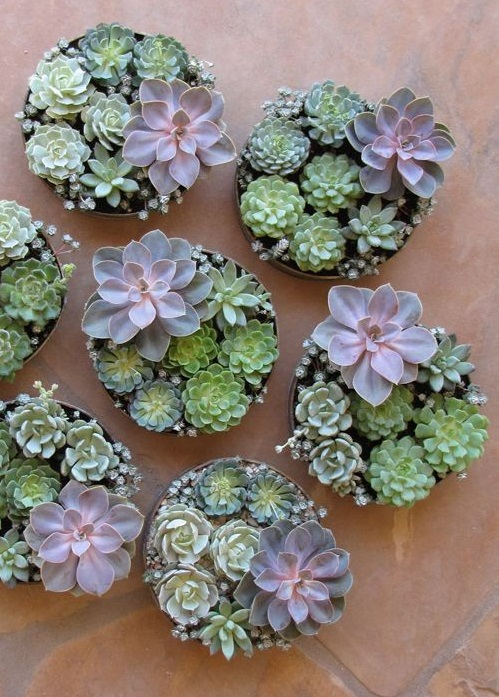Succulents make great gifts!