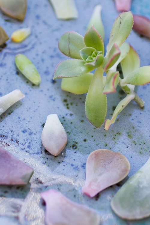 Succulents are easy to propagate with leaves or stem from an existing plant