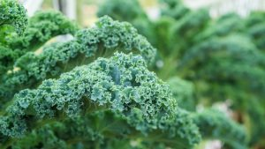 Plant Kale for a Winter Crop
