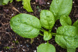 Spinach for a Fall Crop